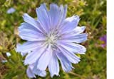 31asVyAr0rL. SL160  9,000 Chicory Flower Seeds with Free Shipping