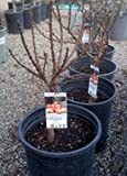 Southern Belle Dwarf Nectarine Tree, Five Gallon Container