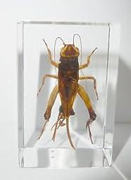 Cricket in Acrylic