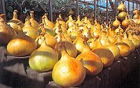 robinsons-mammoth-improved-onion-phial-100-graded-seeds