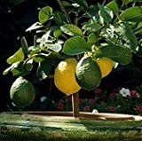 Meyer Lemon Tree(No Shipping to: CA, FL,TX, LA, AZ, HI)