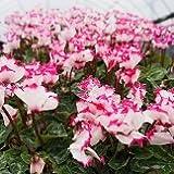 【季節の花苗】 ガーデンシクラメン ビクトリアデコ 【コンテナガーデン】