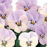 【耐寒性】 ビオラ ピエナ ラベンダーマジック 9株セット 【コンテナガーデン】【花壇】