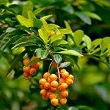 Plants Guru Duranta Green