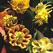 Just Seed Flower - Aquilegia Oranges and Lemons - 40 Seeds