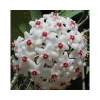 Strawberries & Cream Wax Plant - Hoya - Great House Plant