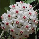 Strawberries & Cream Wax Plant -Hoya- Great House Plant