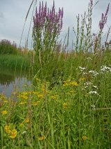 Just Seed Wild Flower - Pond Edge Mixture - Wetlands - 4g