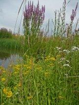 Just Seed Wild Flower - Pond Edge Mixture - Wetlands - 4g
