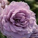 バラ苗 ノヴァーリス 国産新苗4号ポリ鉢 フロリバンダ(FL) 四季咲き中輪 紫系