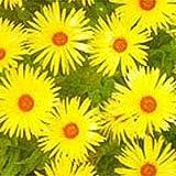 MESEMBRYANTHEMUM - LUNETTE - 30,000 FLOWER SEEDS - BULK