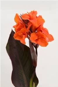 Canna Orange Chocolate 1 pack