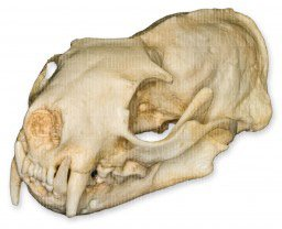 Black-Footed Ferret Skull (Teaching Quality Replica)