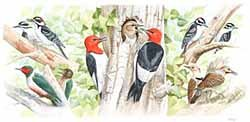 Red-headed, Lewis's, Hairy and Do woodpeckers