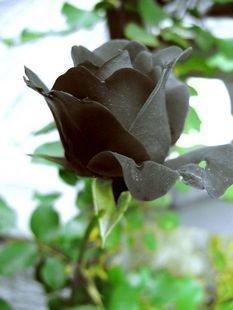 Black Rose Flower Rare ! 5 Seeds!