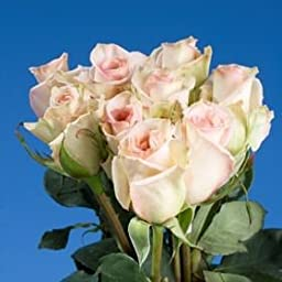 75 Fresh Cut Soft Pink Roses | Sophie Roses | Fresh Flowers Express Delivery | Perfect for Birthdays, Anniversary or any occasion.