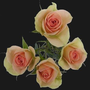 40 Stems of Champagne Spray Roses, Buy 20, Get 20 FREE. ONLY BY SPRING IN THE AIR