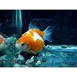 金魚 ピンポンパール(生体 名生園)