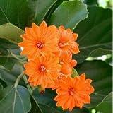Plants Guru Cordia Dodecandra