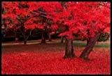 25 SCARLET / CAROLINA RED MAPLE TREE Acer Rubrum Seeds