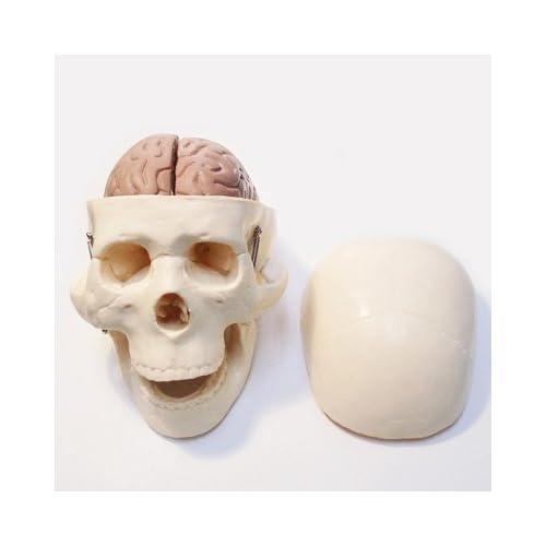 1/2スケール 頭骨/脳模型入り標本  1/2スカル/ブレイン