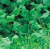 Suffolk Herbs - Sorrel French