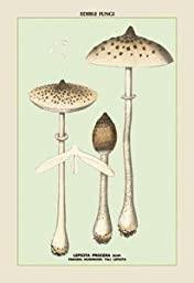 Paper poster printed on 20 x 30 stock. Edible Fungi: Parasol Mushroom