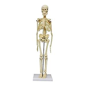 人体骨格模型 45 cm - 1.7370