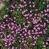 Herb Seeds - Thyme Purple Creeping - 1g Seeds
