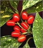 BM Plants Aucuba japonica 'Variegata' , 3L , Spotted laurel , Shrub