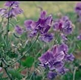 Kings Seeds - Sweet Pea, Noel Sutton - 20 Seeds