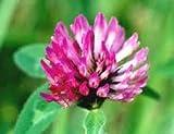 Red Clover Seeds- 1 Bulk Pounds (1#)
