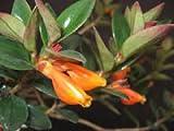 5 Goldfish Plant Seeds