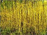 BM Plants Cornus stolonifera 'Flaviramea' , 1L , Dogwood , Shrub