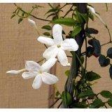 Pink Jasmine Plant - Jasminum polyanthum - Fragrant