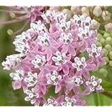 100 PINK (Common) MILKWEED Asclepias Syriaca Flower Seeds