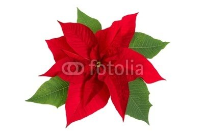 "Wallmonkeys Peel and Stick Wall Decals - Poinsettia Flower - 36""W x 24""H Removable Graphic"