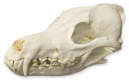 Coyote Skull (Teaching Quality Replica)