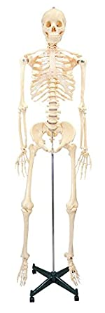 Budget Bucky Skeleton With Stand -5 1/2 Feet Tall