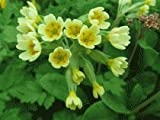Sycamore Trading PRIMULA veris or COWSLIP x 5 Young Plants