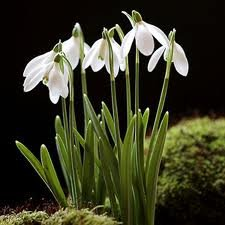 Snowdrop Bulbs - Galanthus Nivalis Snowdrop x 25 OGD251