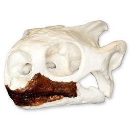 Desert Tortoise Skull (Teaching Quality Replica)