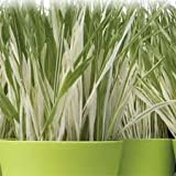 "(GCG)~""VARIEGATED"" CAT GRASS~Seed!!!~~~~~~~~~~Beautiful & A Treat for Kitty!"