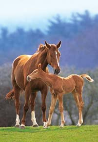 Mare-and-Foal-1000-Piece-Jigsaw-Puzzle-Made-by-Castorland