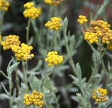 Helichrysum Essential Oil, 100% Pure Essential Oil, 1/2oz Vial