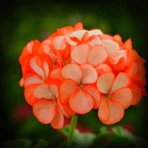 Orange Ice Geranium Flower Seed