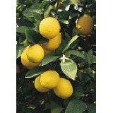 Dwarf Meyer Lemon Tree Grafted Five Gallon