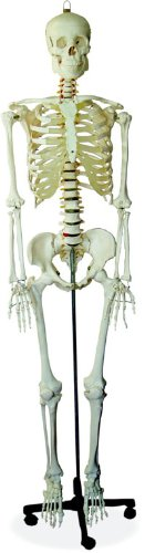 Scientific Anatomical Model : Life Size Human Skeleton
