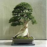 15 Seeds Utah Juniper Bonsai Tree (Juniperus osteosperma)