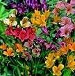 Alstroemeria - Ligtu Hybrids - 10 Seeds